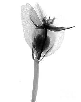Bert Myers - Begonia Flower X-ray
