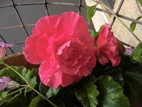 Begonia in Pink by Jan Scholke