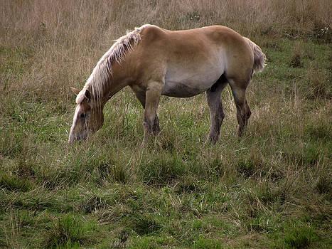 Belgian Draft Horse by Joyce  Wasser
