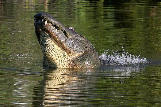 Erin Tucker - Bellowing Alligator