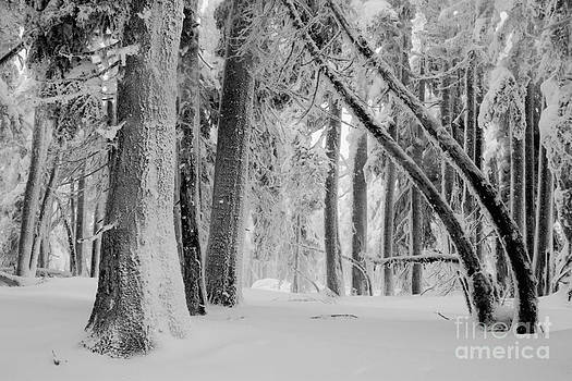 Bending Snow Trees by Denise Lilly