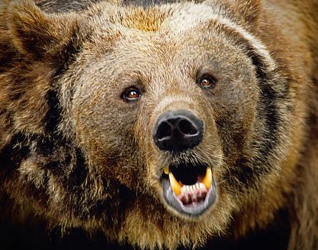 Dennis Cox - Bern bear