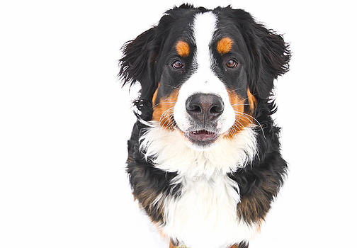 Bernese Mountain Dog by Paulina Szajek