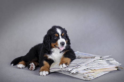 Waldek Dabrowski - Bernese Mountain Dog puppy with newspaper  portrait