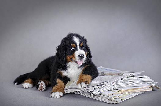 Waldek Dabrowski - Bernese Mountain Dog puppy with newspaper  portrait