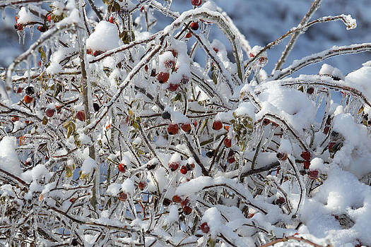 Berries in Ice and Snow  by Gerald Murray Photography