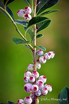 Berries by Jerome Holmes