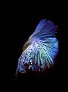 Betta Fish 5 by Philipe David
