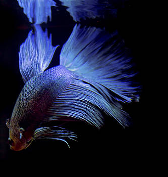 Betta Fish 6 by Philipe David