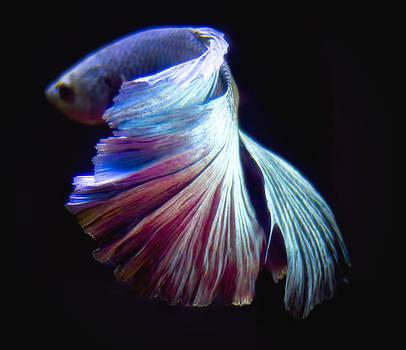 BettaFish 4 by Philipe David