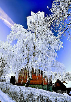 Betula in winter by Lilianna Sokolowska