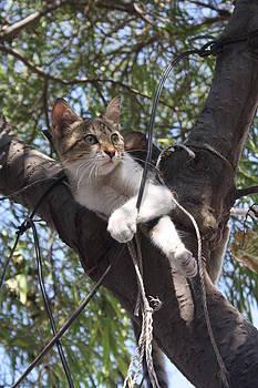 Tracey Harrington-Simpson - Bi-Color Tabby Cat In Tree 2