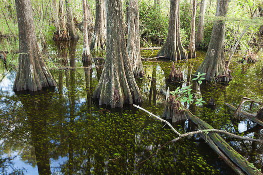 Big Cypress Swamp by Doug McPherson