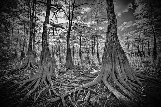 Big Cypress Tree Roots by Bradley R Youngberg