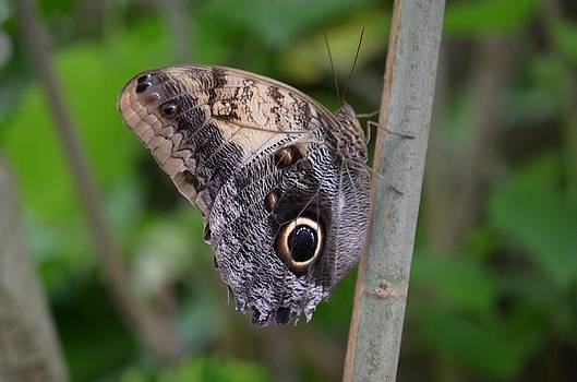 Big Eye Butterfly by Chandra Wesson
