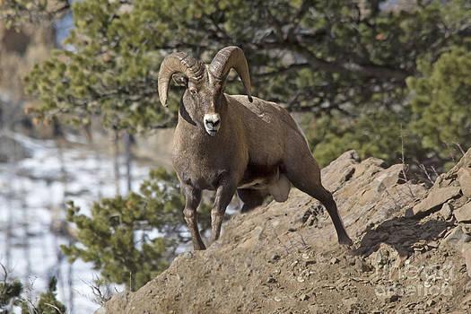 Big Horn Ram by Gary Beeler