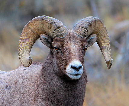 Big Horn Sheep by Floyd Tillery