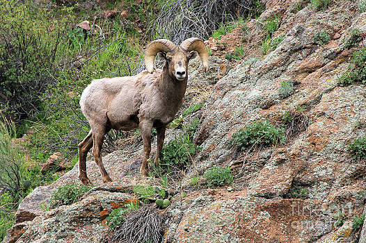 Bighorn Sheep by Kathy Eastmond