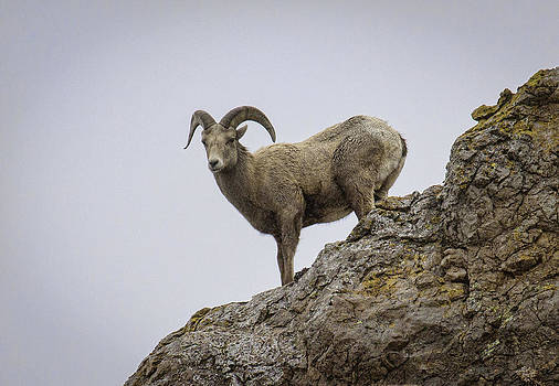 Big Horn Sheep by Susi Stroud