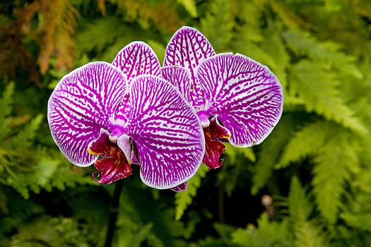 Big Island Orchids by Ashlee Meyer