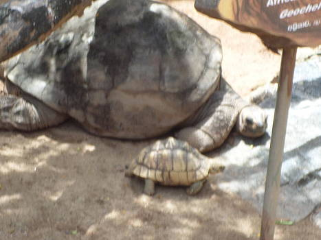 Big Tortoir by Sunanda Yapa