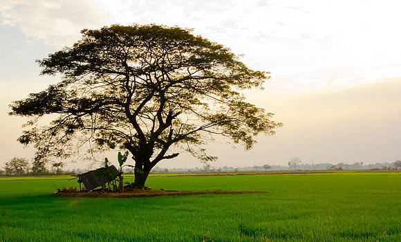 Big tree in rice field by Kobchai Sukruean