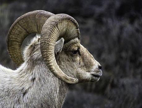 Bighorn Ram by Susi Stroud