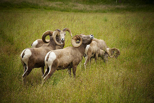 Bighorn Sheep by Alicia Lockwood