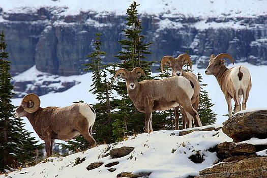 Bighorn sheep at Glacier National Park by Jetson Nguyen