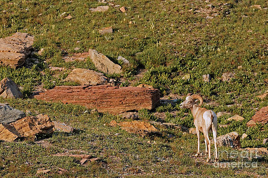BigHorn Sheep in Glacier NP by Natural Focal Point Photography
