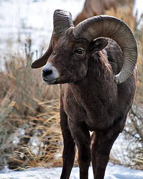 Bighorn Sheep by Stephanie Thomson