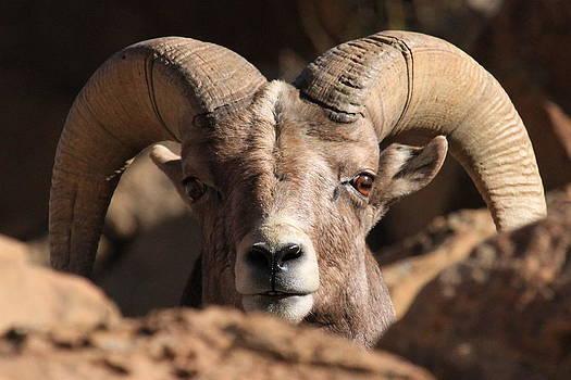 Bighorn Stare  Down by Paul Marto