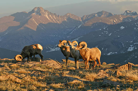 Bighorn under Longs Peak by Robert Yone