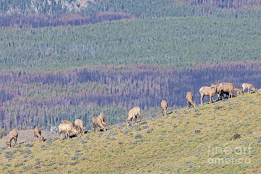 Bighorns in Yellowstone by Natural Focal Point Photography