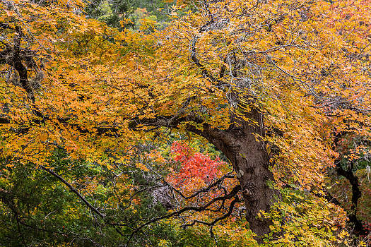 Bigtooth Maples Turning Colors by Steven Schwartzman