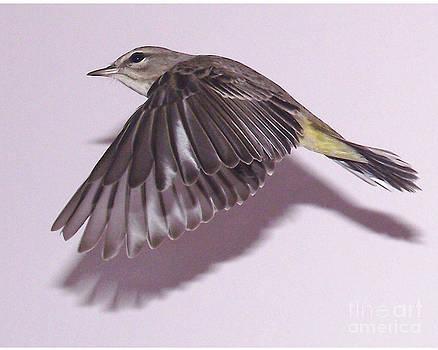 Bijirita volando./ Bird flying. by Juan Carlos Sepulveda