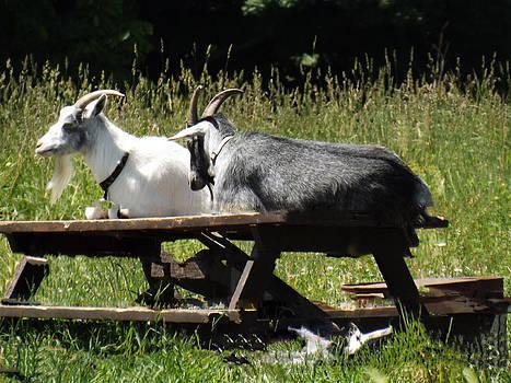 Billy Goats Picnic by Brenda Brown