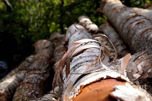 Birch Bark Curl by Kerri Mortenson