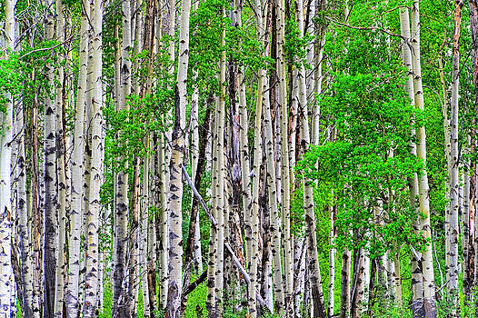 Birch forest 2 by Jim Boardman
