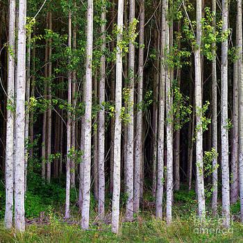 Douglas Taylor - BIRCH FOREST