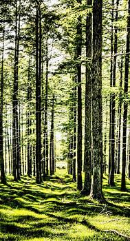 Weston Westmoreland - birch forest fractal