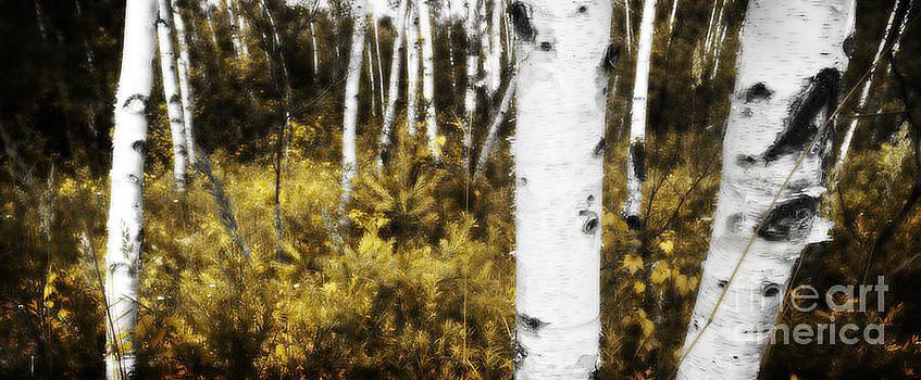 Birch Forest I by RicharD Murphy