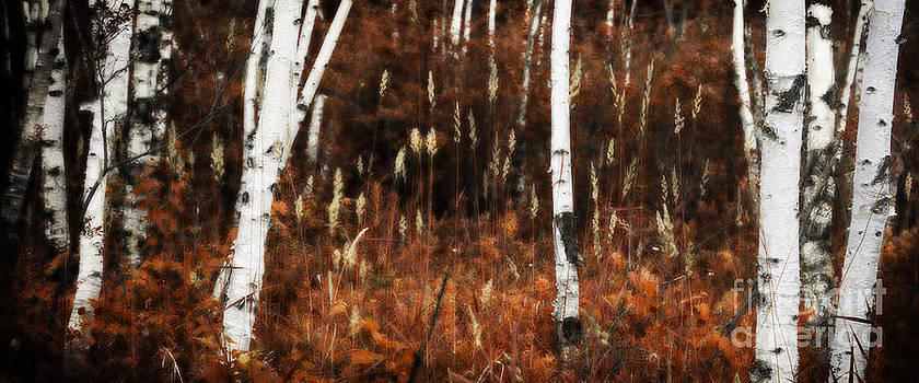 Birch Forest II by RicharD Murphy