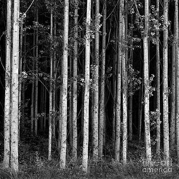 Douglas Taylor - BIRCH FOREST IN BLACK AND WHITE