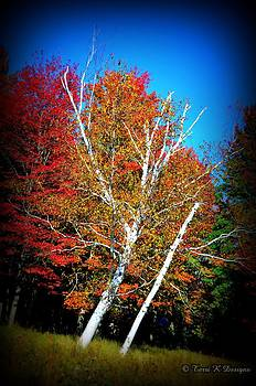 Birch in Fall by Terri K Designs
