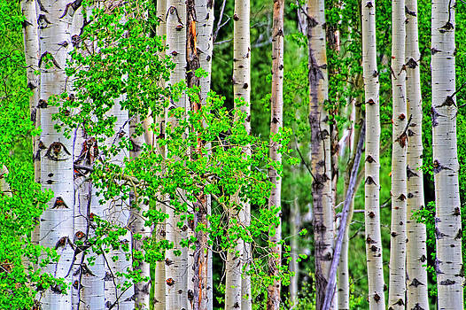 Birch tree forest by Jim Boardman