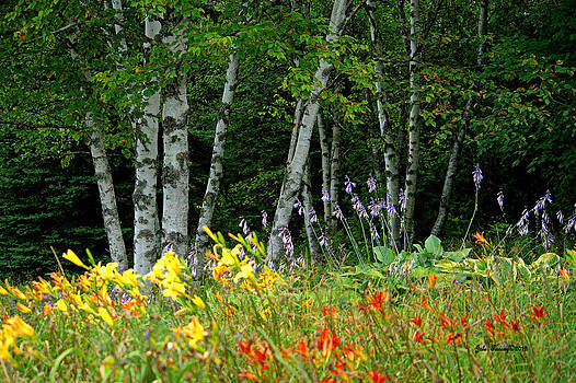 Birch Trees and Flowers by Jale Fancey