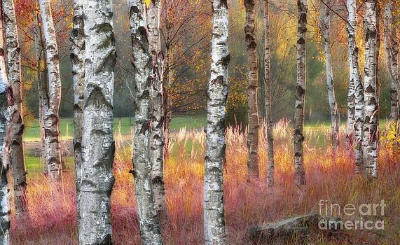Birch wood at dawn by Lilianna Sokolowska