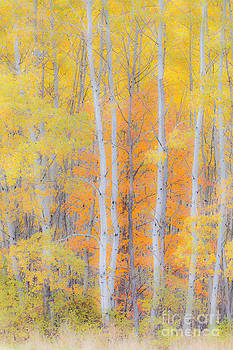 Birch Woods Autumn by Alan L Graham