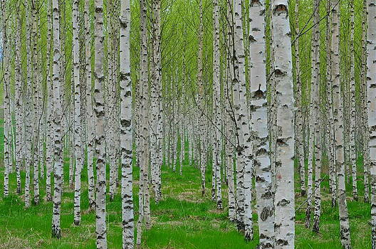 Birches by Eliot Freed